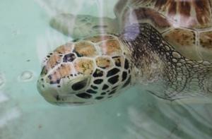 Besøk på skilpaddefarmen, Green turtle