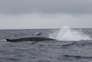 Finnhval med delfin i bakgrunnen